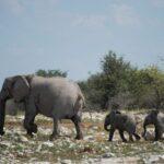 Namibia venderá 170 elefantes salvajes