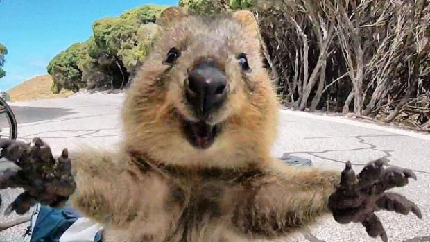 Curiosidades del Quokka, el animal más feliz del mundo