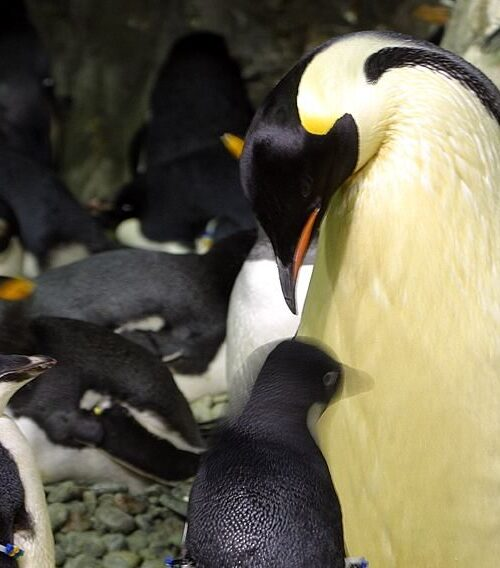 Descubren nuevo virus en pingüinos de la Antártica que puede afectar a humanos