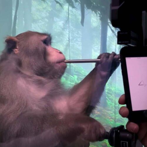 Neuralink de Elon Musk muestra a mono con chip cerebral jugando un videojuego pensando