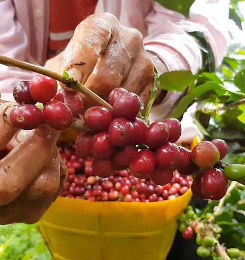 Científicos se preguntan si podría el cambio climático significar el fin del café colombiano