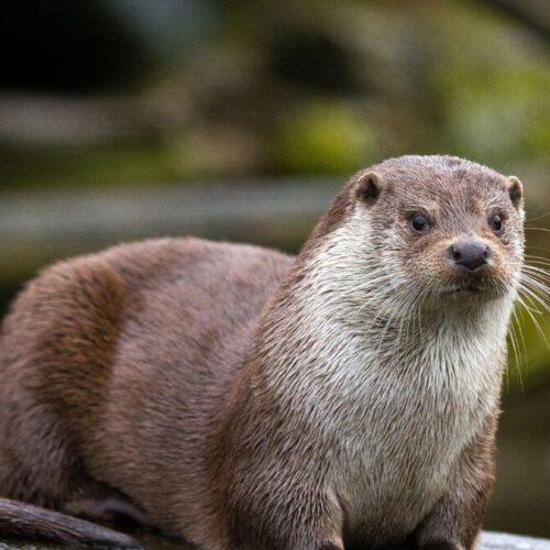 Nutrias de zoológico en EEUU dieron positivo al covid-19