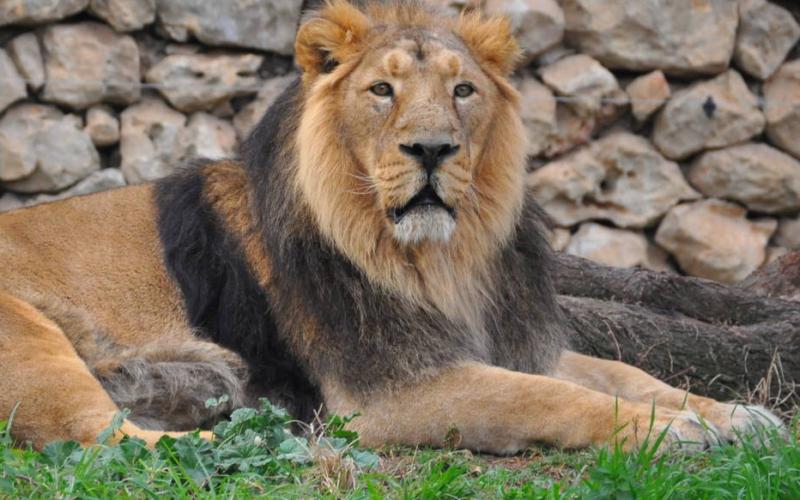 Ocho leones en la India dieron positivo al coronavirus