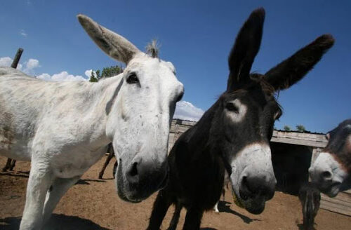 Bolivia apuesta por tratar a enfermos de covid-19 con suero de plasma de burros
