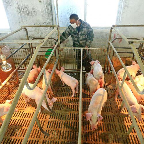 Puerto Rico emite medidas ante brote de gripe porcina