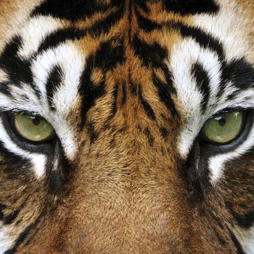 29 de Julio – Día Mundial del Tigre