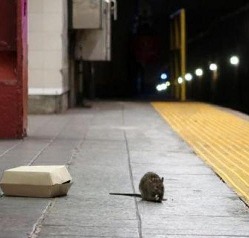 Nueva York en alerta por extraña enfermedad transmitida por ratas