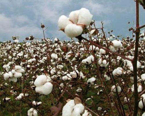 Día Mundial del Algodón ¿Sabías que la planta de algodón constituye el cultivo no comestible que más se cosecha en todo el mundo?