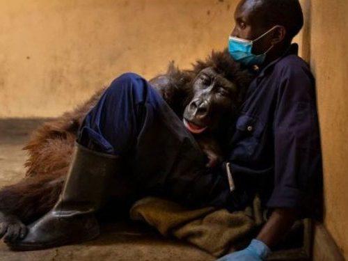 Ndakasi, la célebre gorila del Congo murió en brazos de su cuidador